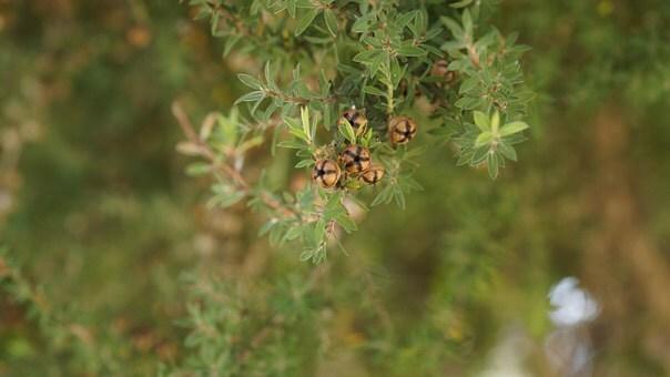 Çay Ağacı Yağı Nedir?Nerelerde,Nasıl Kullanılır? Çay Ağacı Yağının Faydaları Nelerdir?