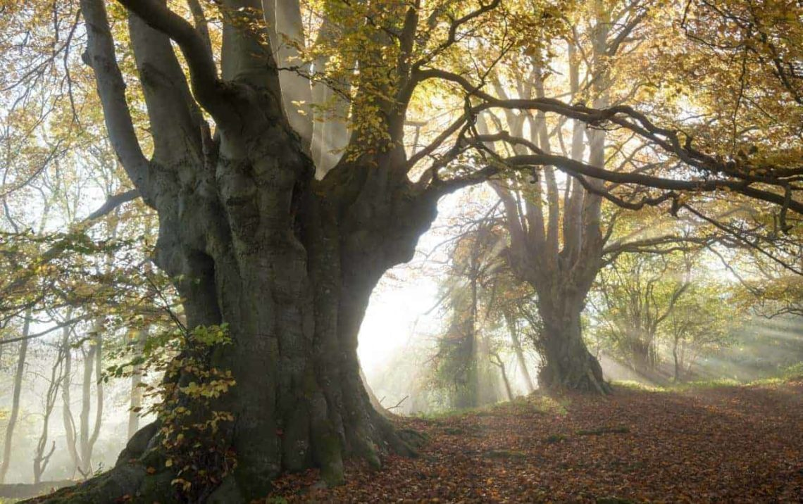 Ancient_Beech_Lineover_Wood_2-min