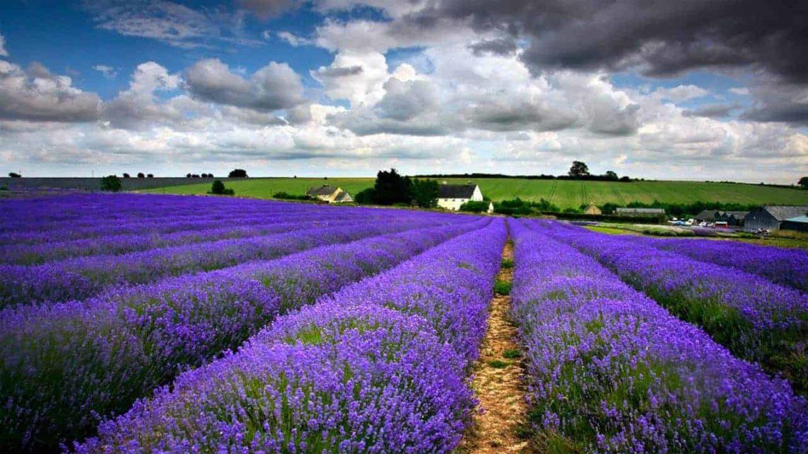 Snowshill Lavender-min