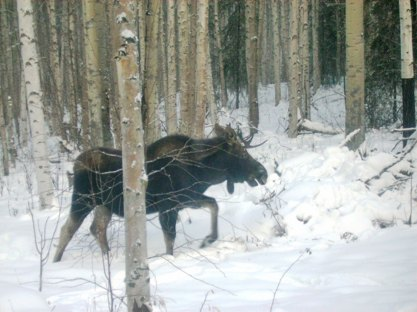 A young bull moose enjoys a stroll in our woods