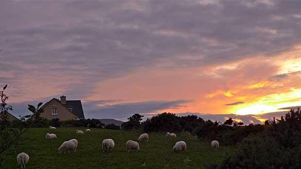 Sheep at dusk in Cahersiveen