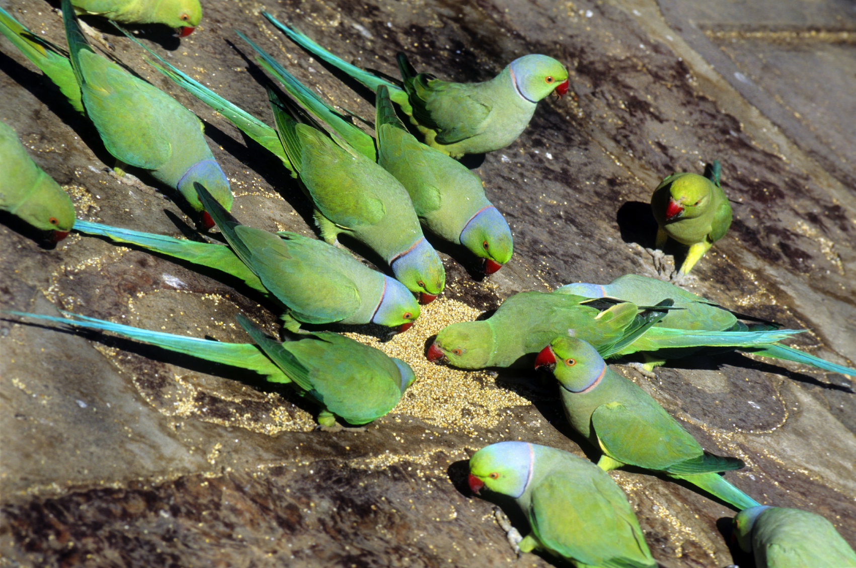 African Size Ringneck Parrot