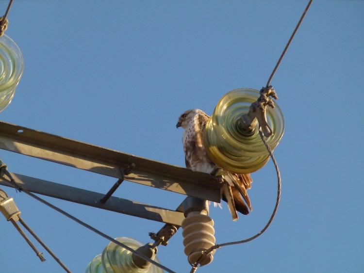 Mitigation | Bird Electrocution