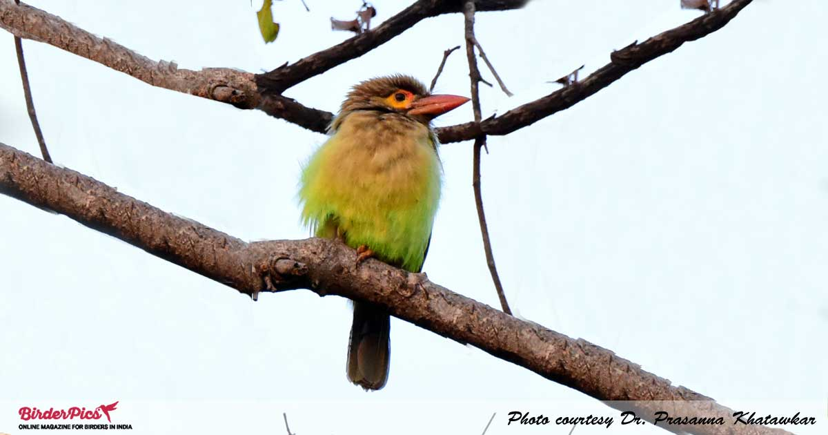 Brown-headed-Barbet