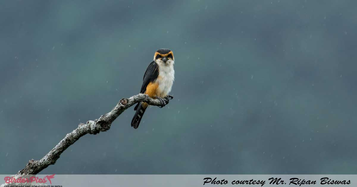 collared-falconet