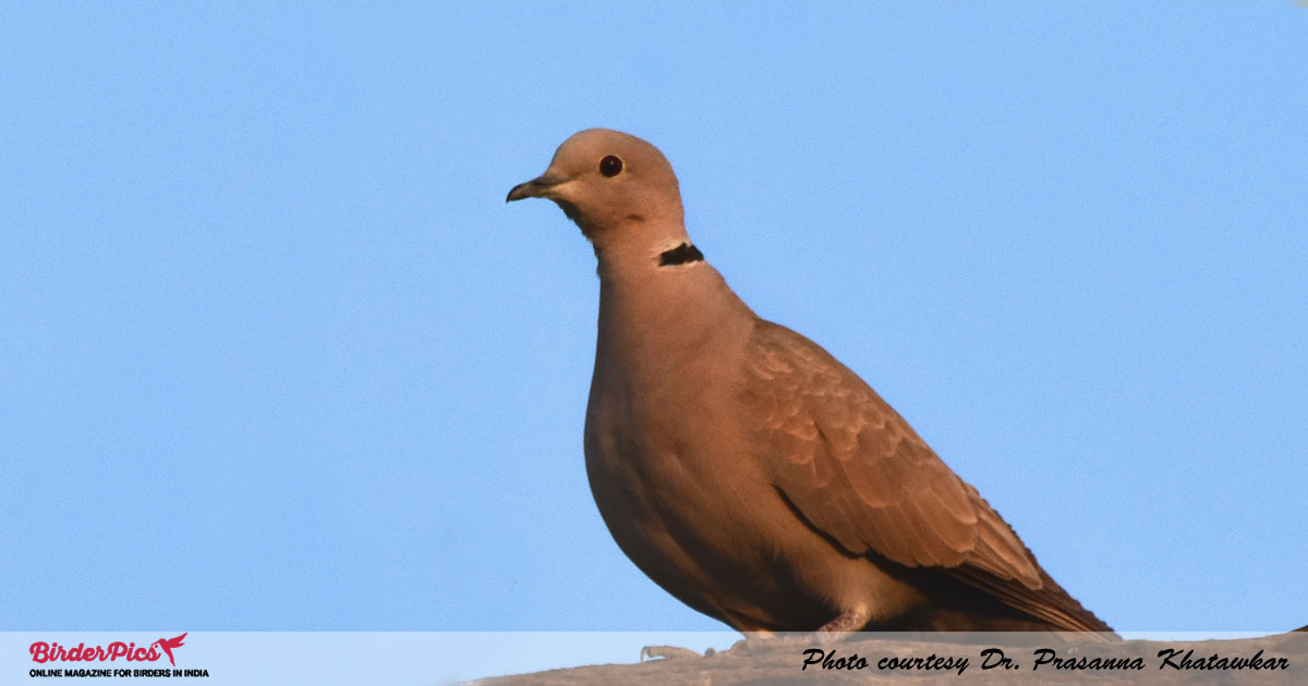 Eurasian-collard-Dove