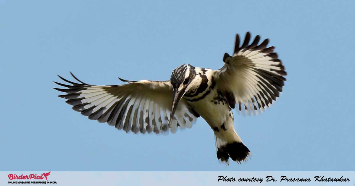 Pied-Kingfisher