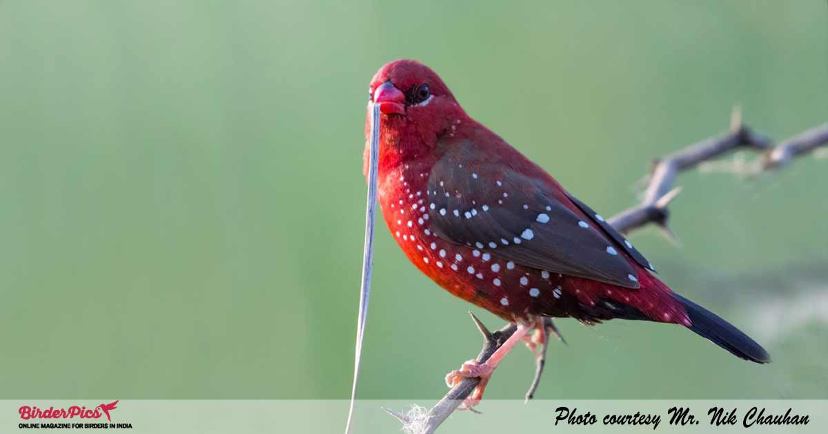 Red Avadavat or Red Munia