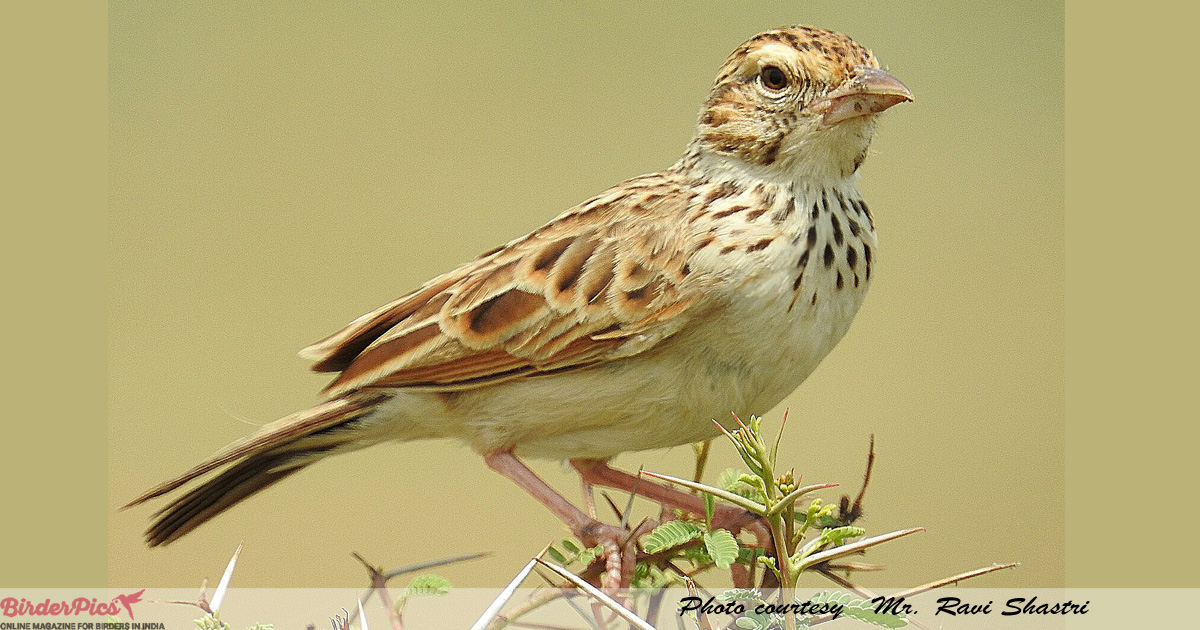 Indian-bush-lark