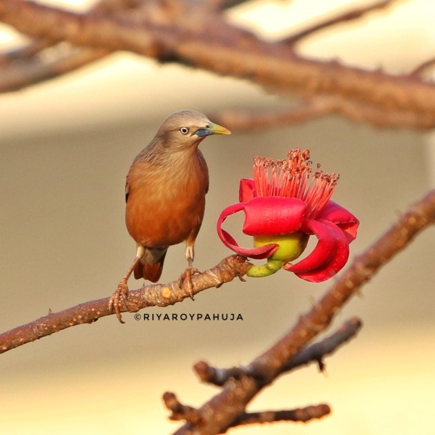 Chestnut tailed starling