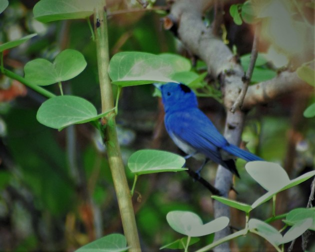 BLACK-NAPED MONARCH_FLYCATCHER