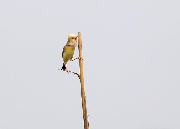 Golden-Headed Cisticol