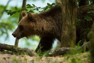 Niedzwiedz brunatny, Slowenia, fot. Marek Kosinski