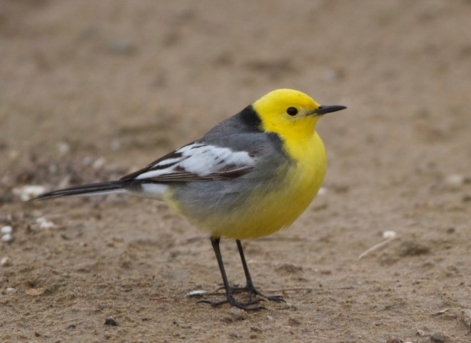 2016-04-16 Citrine Wagtail male, Ma Chang