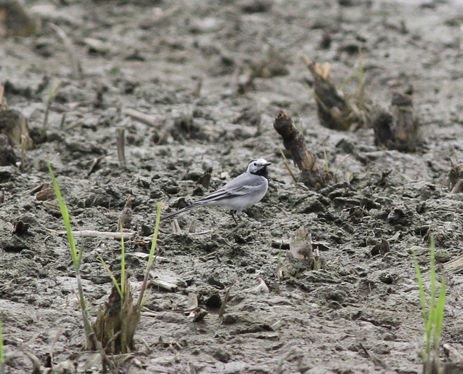 2016-04-16 Colm's alba White Wagtail2
