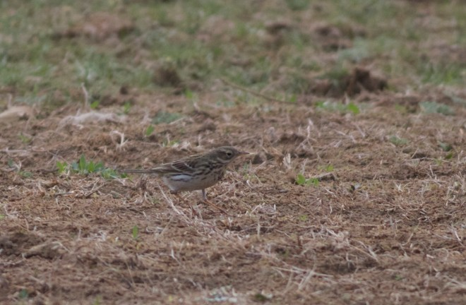 2016-04-16 Meadow Pipit, Ma Chang
