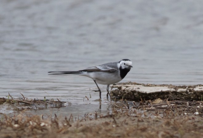 2016-04-16 White Wagtail ssp alba?2, Ma Chang