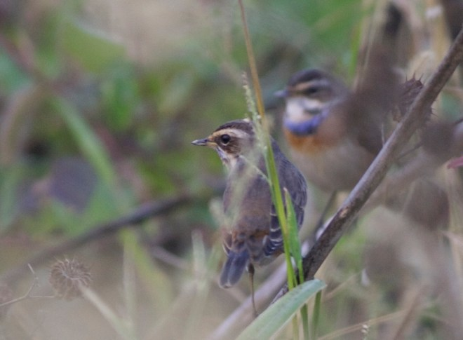 2016-09-23-bluethroats-shunyi