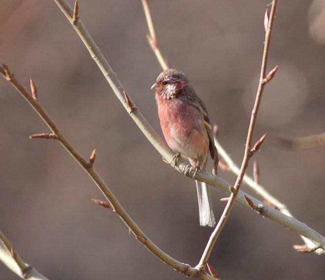 2016-12-02-long-tailed-rosefinch-ssp-lepidus-male-lingshan-8