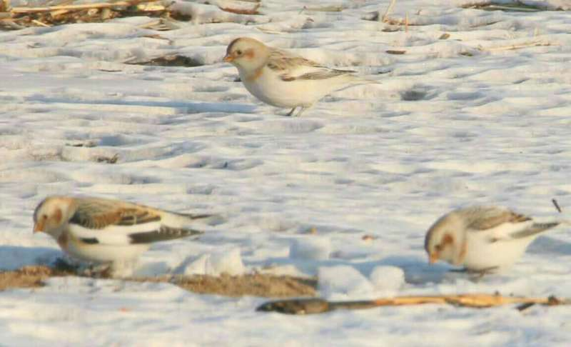 Snow Bunting – new for Beijing