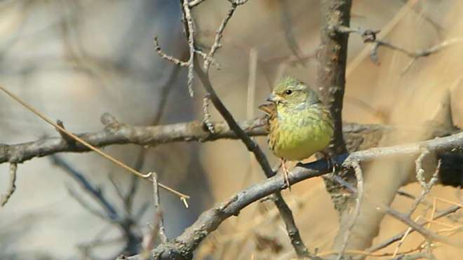2017-02-18-personata-black-faced-bunting-beizhuang-cai-zhenbo-and-li-weiying2