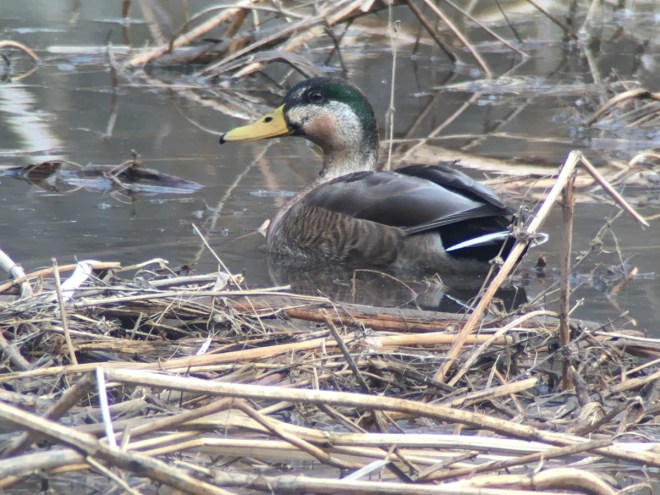 A hybrid duck at Youzhou on 4 March. Mallard x Gadwall? Comments welcome.