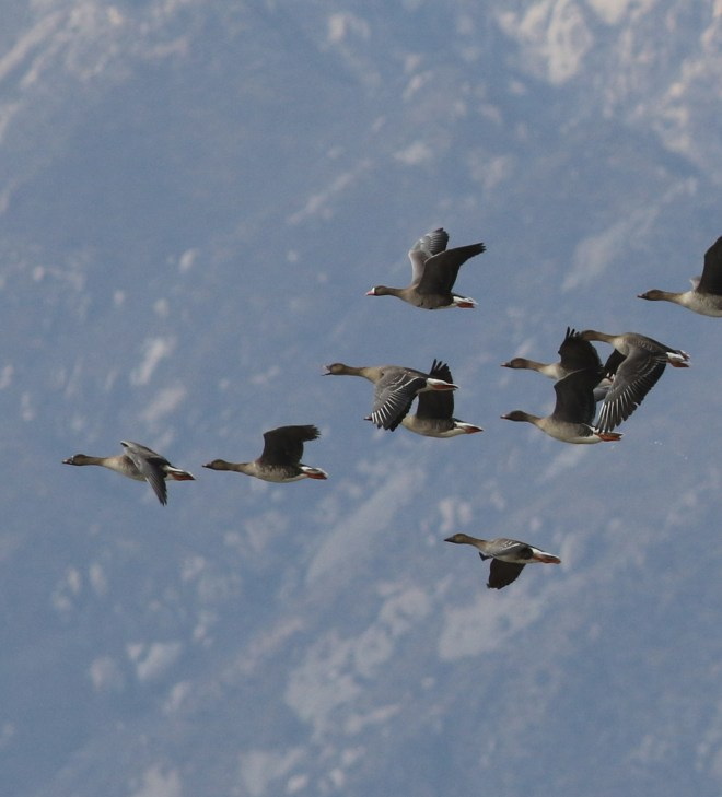 A Greater White-fronted Goose with Bean Geese, Ma Chang, 5 March 2017. Photo by Zhao Qi.