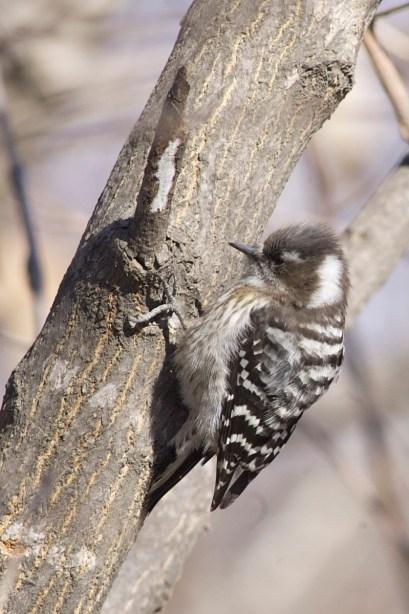 Japanese Pygmy Woodpecker (Yungipicus kizuki), Liaoning Province.