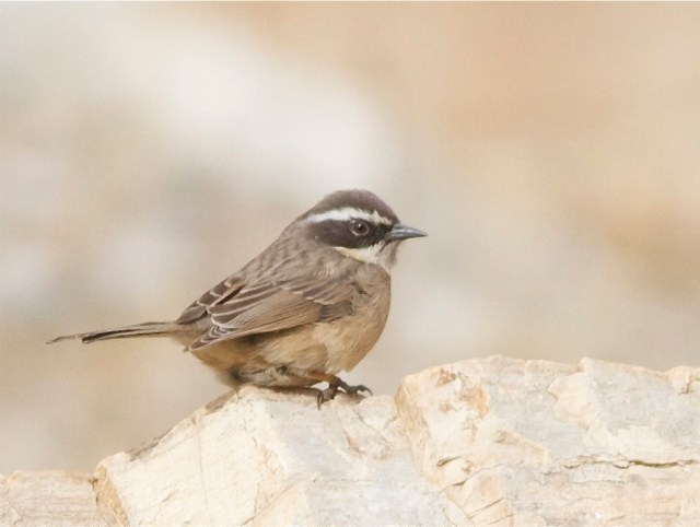 Brown Accentor (Prunella fulvescens), on the Beijing-Hebei border, February 2013