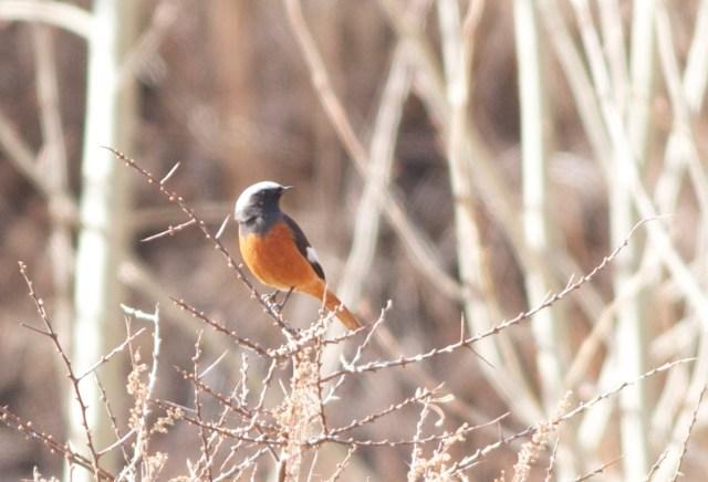 Guldenstadt's Redstart (male), Lingshan.