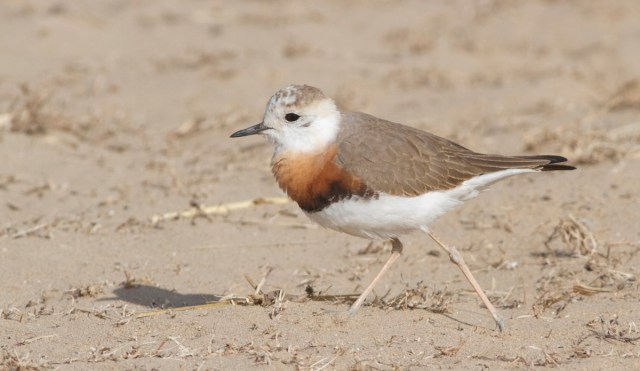 Oriental Plover, Ma Chang.  The flock now exceeds 60 birds.