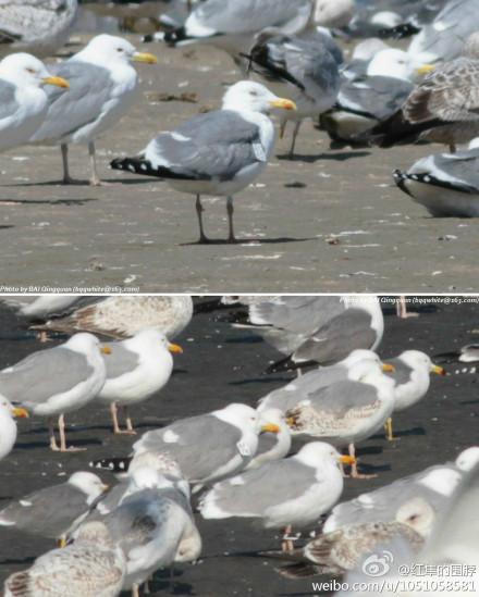 """Mongolian Gull """"AC82"""", Jinzhou Bay, Dalian, March 2013.  Photograph by Bai Qingquan."""
