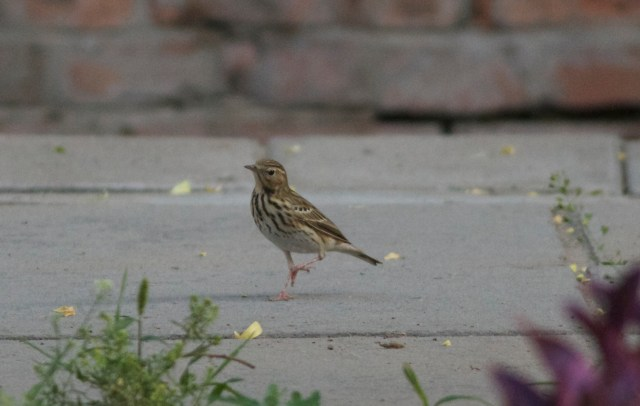 Tree Pipit waiting in line for a visa, UK Ambassador's garden, 13 May 2013