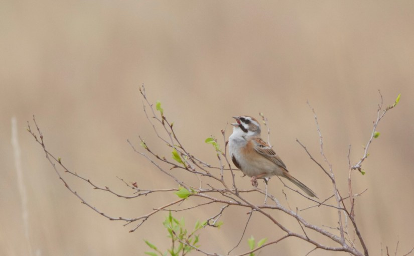 Jankowski's Bunting discovered breeding in Mongolia