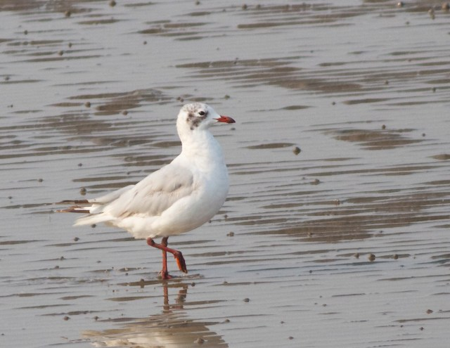 Adult RELICT GULL, Nanpu, Hebei Province, August 2013