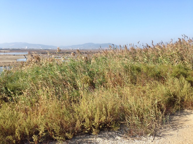 The patch of reeds in which the STREAKED REED WARBLER was found, near Laotieshan, Liaoning Province.