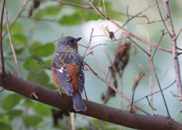 White-throated Rock Thrush.  A beautiful bird and a real treat to see it so well in the 'garden'.