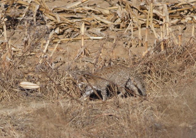 LEOPARD CAT, Miyun Reservoir, 22 November 2013.  Sightings, especially during the daytime, are very rare in the capital.
