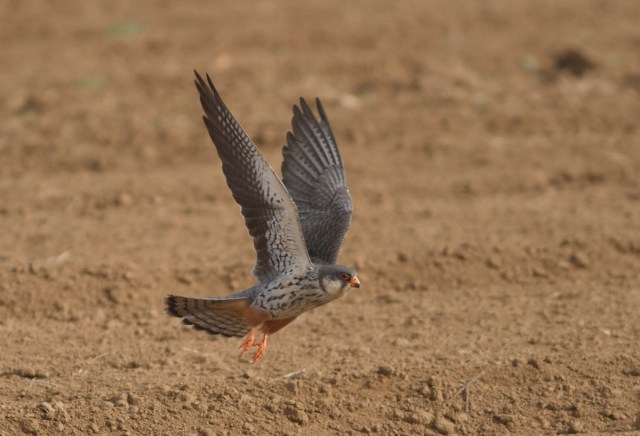 AMUR FALCON (female), Miyun Reservoir, 3 May 2014
