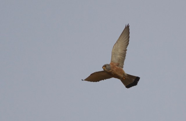 LESSER KESTREL, adult male, Miyun 3 May 2014.  Beautiful.