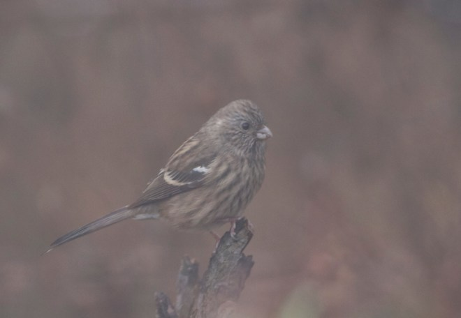 Long-tailed Rosefinch (female), Lingshan