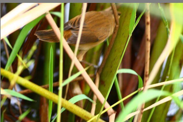 2008-09-22 Streaked Reed Warbler, Yuanmingyuan Zhu Lei