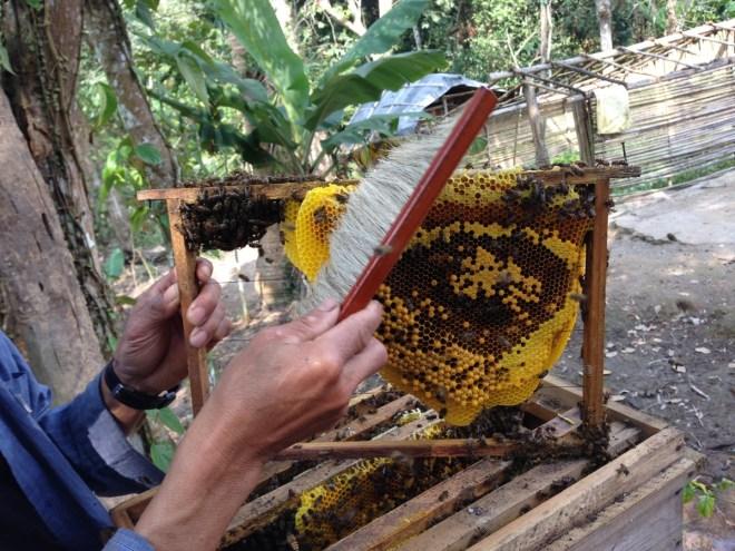 harvesting honey