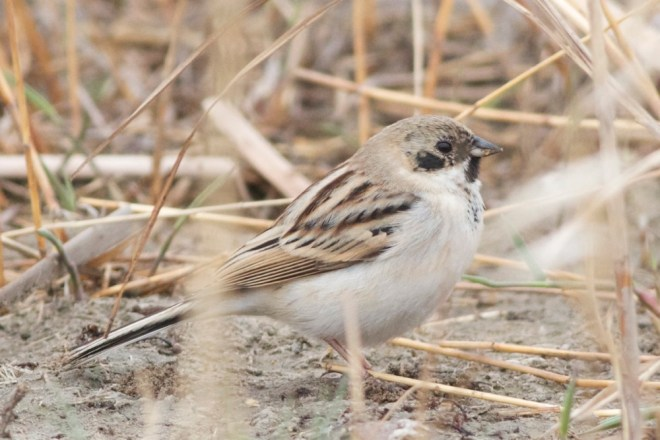 Pallas's Reed Bunting, Ma Chang, April 2012