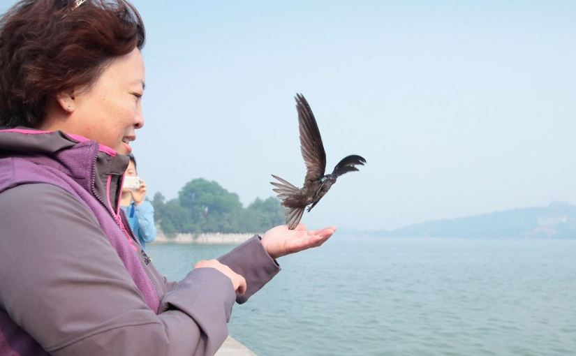 Out of Africa!  The Beijing Swift's Incredible Journey Charted At Last