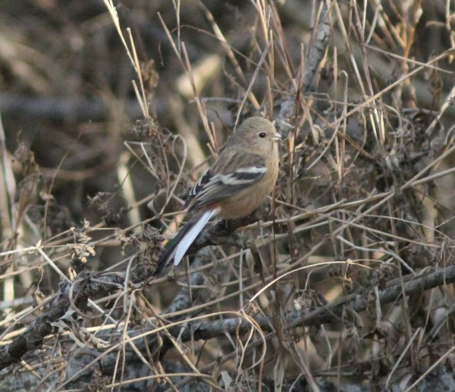 Long-tailed Rosefinch 333242