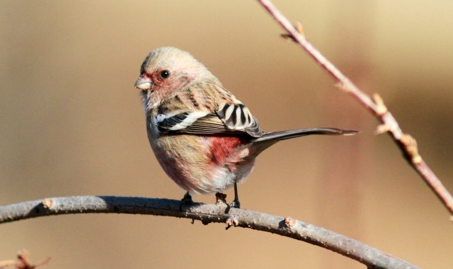 Long-tailed Rosefinch 35vfvhj3