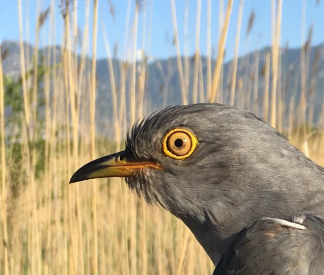 Tagged Cuckoo 3, Yeyahu, 26 May 2016 close up
