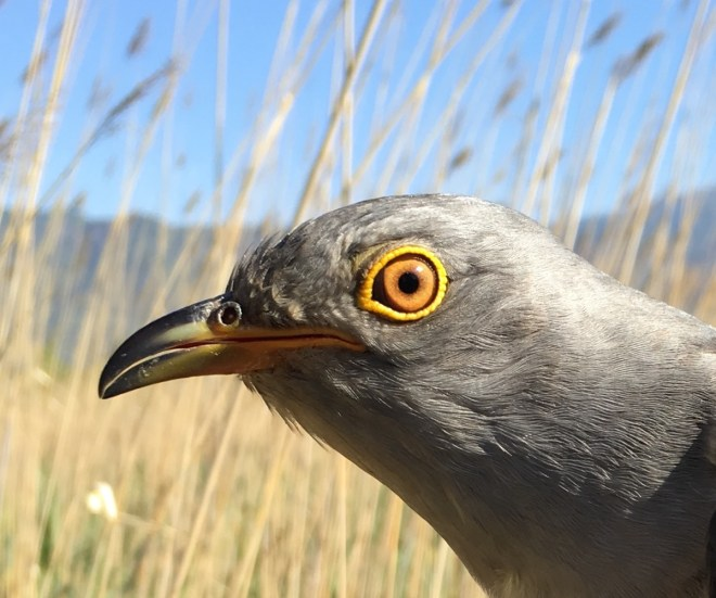 Tagged Cuckoo 4, Yeyahu, 26 May 2016 close up