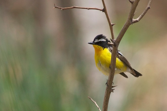 Yellow-rumped Flycatcher is a relatively common breeder in the mountains around Beijing.